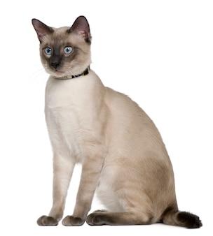 Сиамская кошка, сидя на белом фоне