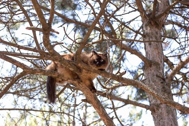 シャム猫が木の上に座っています。松の枝に座っているタイの猫