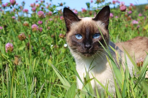 草の中に立っているシャム猫は、熱狂的に見えます。