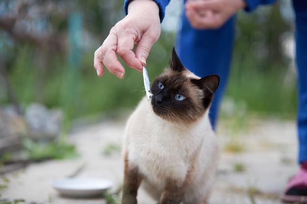 青い目をしたシャム猫が小魚を食べる準備をしています