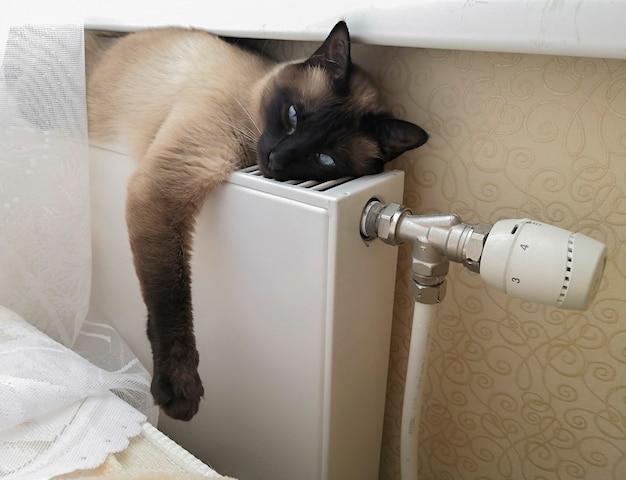Сиамская кошка с голубыми глазами отдыхает на теплом радиаторе крупным планом