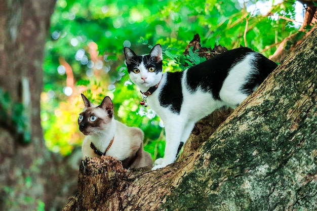 Siamese cats climb trees to catch squirrels. but it can not climb down