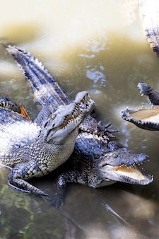 Siamese crocodiles mekong delta in vietnam