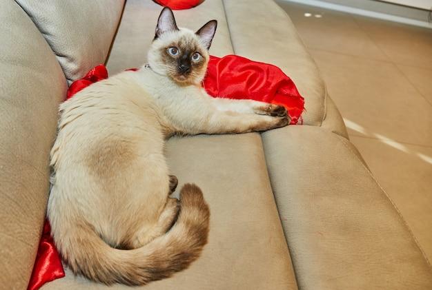 샴 귀여운 키티가 집에서 소파에 누워 있습니다.