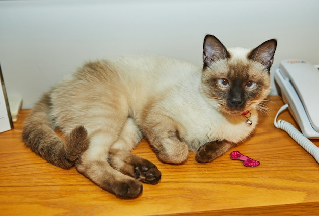 Siamese cute kitty lies on the shelf of the closet at home.