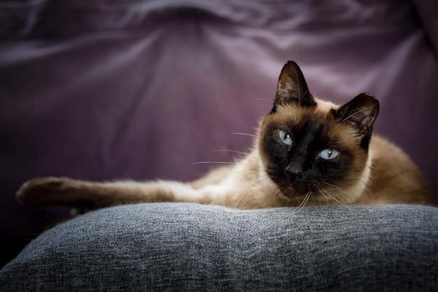 Сиамская домашняя кошка расслабилась в гостиной дома домашнее животное отдыхает дома