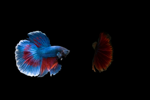 Siamese fighting fish  (betta)  isolated on black background with clipping path