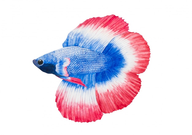 Siamese fighting fish or betta splenden fighting fish watercolor