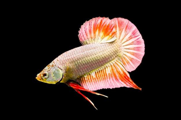 シャムの戦いの魚、ベタの素晴らしさ、タイ
