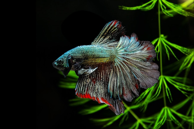 Siamese  fighting fish on a black background with green algae