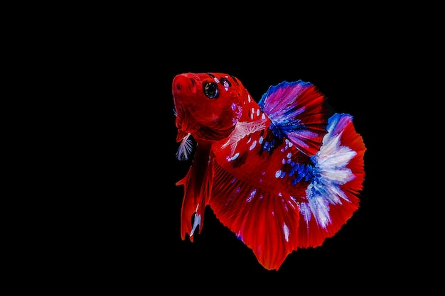 Siamese  fighting fish on a black background