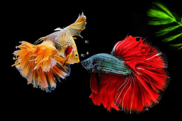 Siamese fighting fish on black with green algae