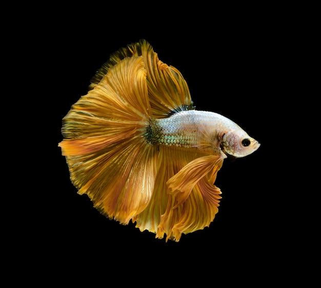 暗い水槽のシャムの戦いの魚