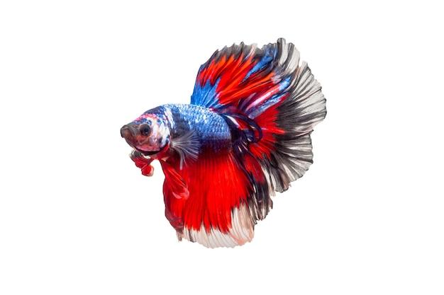 白い背景で隔離のシャムの戦いの魚