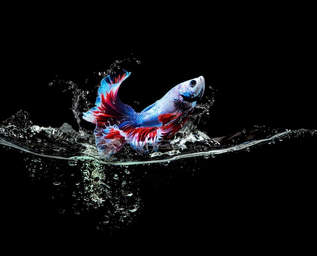 Siamese fighting fish jumping out of water splash