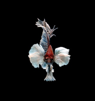 Siamese fighting fish in movement isolated on black