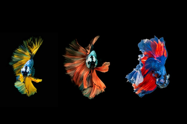 Siamese fighting fish.multi color fighting fish