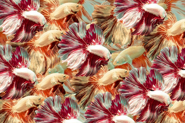 Siamese fighting fish. multi color fighting fishs background.