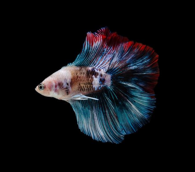 シャムの戦いの魚またはベタの素晴らしき魚、タイで人気のある水族館の魚。黒の背景に分離された魚の動きと戦う多色ハーフムーンテールベタ