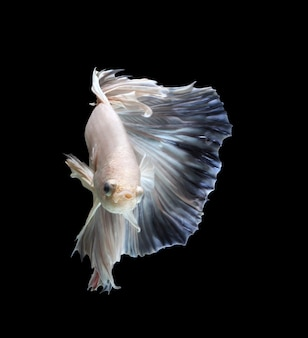 Siamese fighting fish show the beautiful fins tail