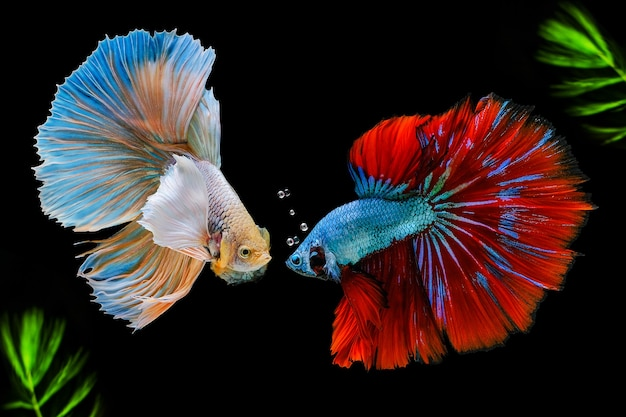 Siamese fighting fish with green algae.