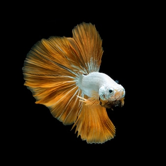 Сиамские боевые рыбы желтые фантазии полумесяца бетта замораживают плавное движение. изолированные на черном.