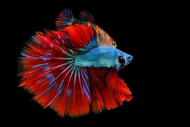 Сиамские бойцовые рыбы