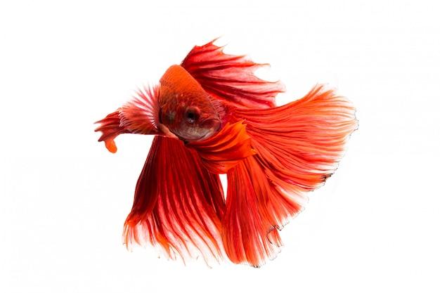 Сиамская рыба