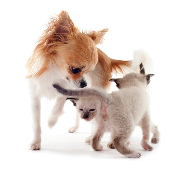 シャムの子猫とチワワ