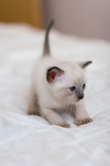 Siamese kitten standing in pose before jumping on blanket