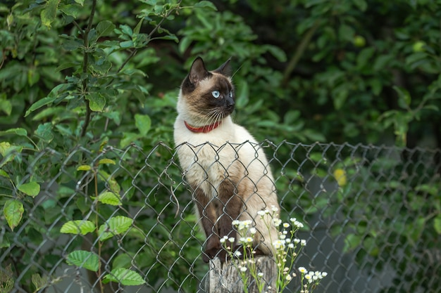 Siamese purebred pussy sitting on the grid fence