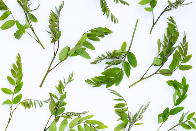 Сиамские листья сенны на белой поверхности