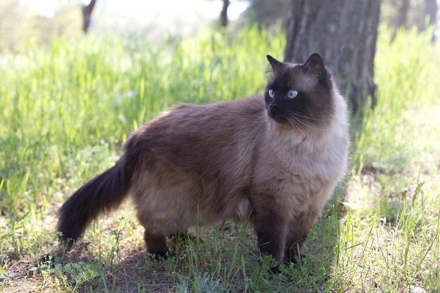 Siamese or thai cat sitting under a tree. the cat walks alone in the park