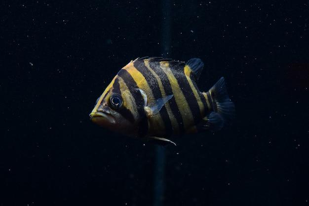 Siamese tiger fish
