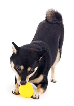 Сиба-ину играет с игрушечной уткой, изолированной на белом