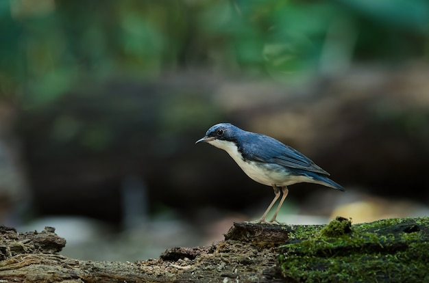 Siberian blue robin (luscinia cyane) the beautiful blue bird standing on the mossy log