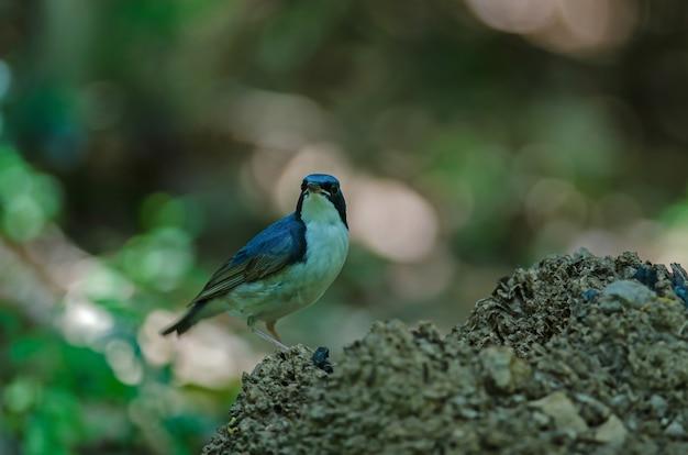 Siberian blue robin (luscinia cyane) the beautiful blue bird standing in nature