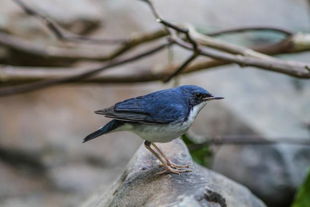 Siberian blue robin(luscinia cyane) in nature