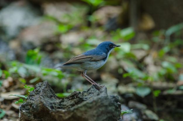Siberian blue robin (luscinia cyane)