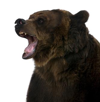 시베리아 갈색 곰