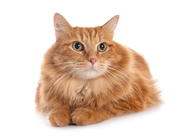 白い背景の前でシベリア猫