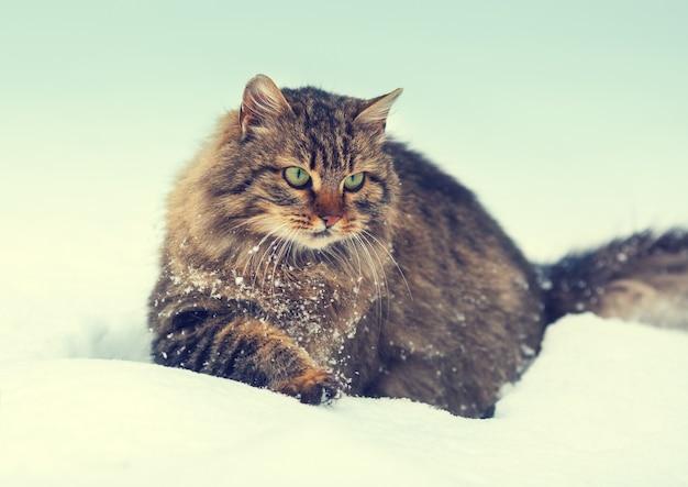 Сибирский кот гуляет по снегу