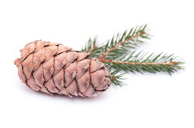 Siberian cedar pine cone, cedar cone isolated on white background