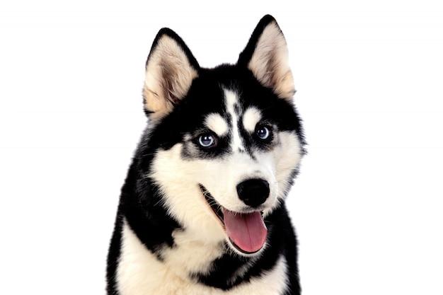 Сибирский хаски с голубыми глазами