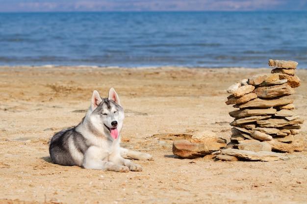 Сибирские хаски на пляже