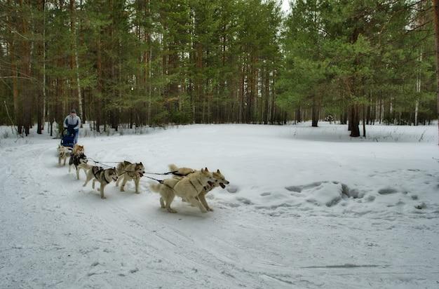시베리안 허스키. 남자는 썰매 뒤에 서서 개 썰매를 조종한다. 개 달리기.