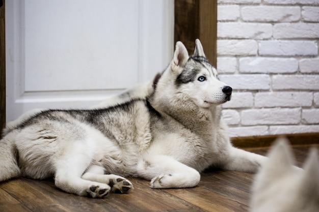 床に横たわって自宅でシベリアンハスキー。犬のいる生活