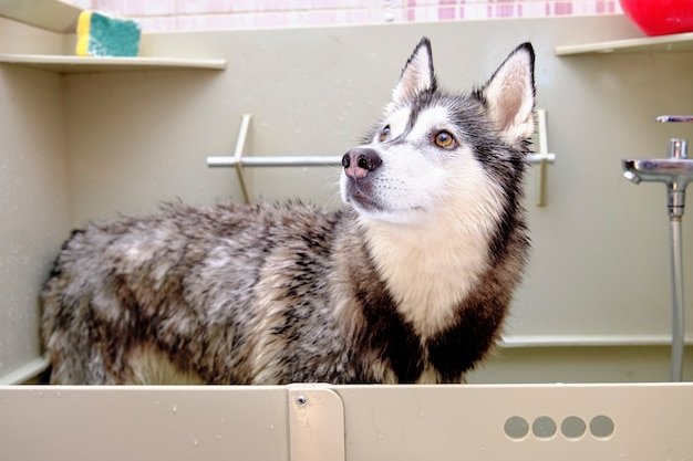 Siberian husky in the bath for bathing with wet hair.