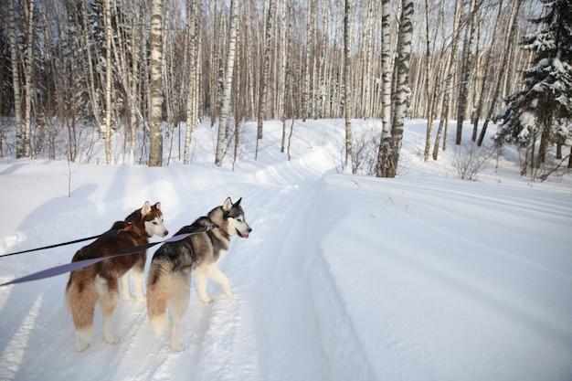 森の中を散歩しているシベリアンハスキーのカップル。色とりどりの目を持つハスキー。ペットへの愛
