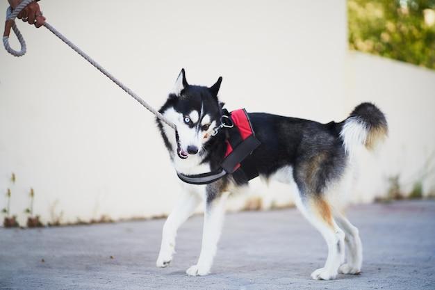 Сибирский хаски кусает собаку на поводке